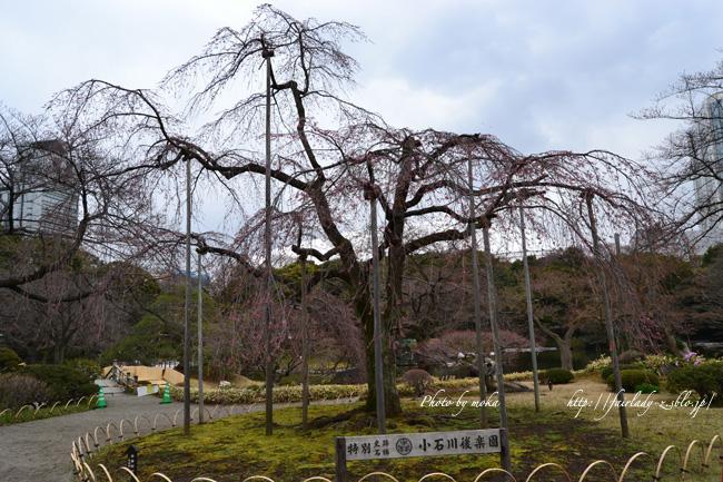 蕾みの枝垂れ桜